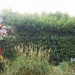 hedge removal experts Rhuddlan