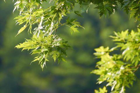 Tree Thinning & Pruning in Afonwen