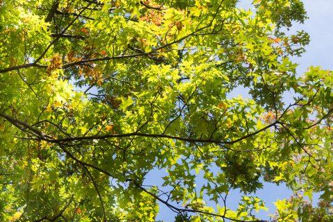 Tree Crowning in Afonwen