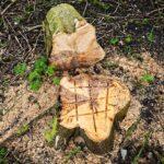tree stump removal experts Rhuddlan